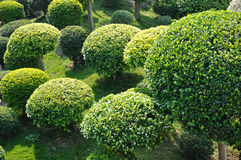 Round cown trees in garden. Trees crown cutted into ball shape in garden and shadow in repeated design Royalty Free Stock Image