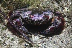 Round crab Stock Image