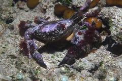 Round crab Stock Photo