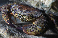 Round crab Royalty Free Stock Image