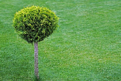 Round cut bush on a green lawn Stock Image