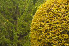 Round cut tree in autumn. Yellow round cut tree with coniferous trees on background Stock Photo
