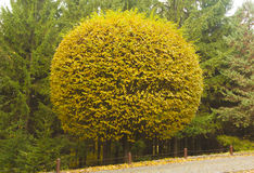 Round cut tree by road in autumn. Yellow round cut tree with coniferous trees on background Stock Photo