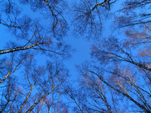 Round dance of trees. Birches forest on the blue sky background Stock Photos