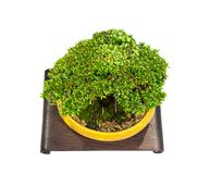 A Round dwarf bonsai tree in a clay tree pot, isolated on white background. royalty free stock photo