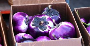 Round eggplants Stock Images