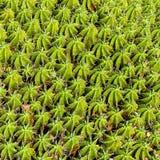 Round Euphorbia cactus texture close up. Euphorbia cactus close up with space for text Royalty Free Stock Photos