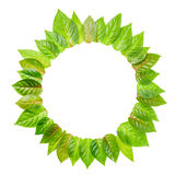 Round frame of fresh green leaves is isolated on white backgroun Royalty Free Stock Image