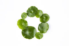Round fresh green leaf arrangement in circle isolate on white background Royalty Free Stock Images