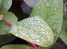 Round frozen raindrops in close up on green winter leaves royalty free stock image
