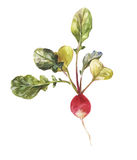 Round garden radish with leaves in watercolor. Round garden radish with leaves. Illustration of watercolor isolated on a white background Royalty Free Stock Images
