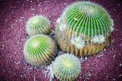 Round Golden barrel cactus in close up at a tropical botanical garden. A Round Golden barrel cactus in close up at a tropical botanical garden royalty free stock photography