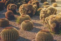 Round Golden Barrel cactus garden. Illuminated by sunset light, Echinocactus Grusonii stock photography
