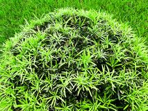 Round green bush topiary against green grass Stock Photos