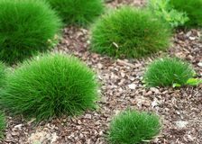 The round green grass pieces growing in the garden Royalty Free Stock Photos