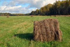 Round hay bale. On a green field in September Royalty Free Stock Photos