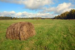Round hay bale. On a green field in September Stock Photos