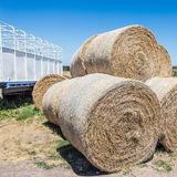 Round hay bales. Stacked in field after delivery Stock Images