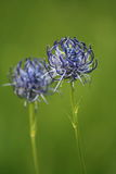 Round-headed rampion flowers Royalty Free Stock Photography