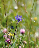 Round headed Rampion Royalty Free Stock Image