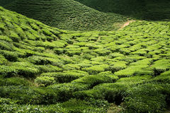 Round hills and winding tea bushes, malaysia royalty free stock photos