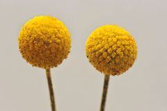 Round inflorescence. Macro of two little yellow round inflorescences Royalty Free Stock Photo