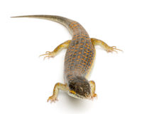 Free Round Island Skink Or Telfair S Skink Royalty Free Stock Photography - 18443777