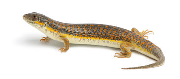 Round Island skink or Telfair's skink Royalty Free Stock Photography