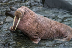 Round Island Walrus. A pacific walrus comes ashore in Alaska, at the Round Island game Sanctuary Stock Image