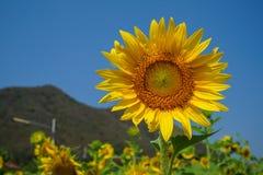 Round jaskrawy piękny żółty świeży słonecznik pokazuje pollen deseniowego, miękkiego płatek z i, Obraz Royalty Free