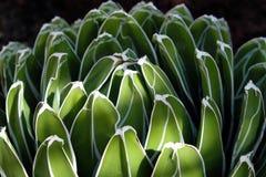 Round kaktusowy zbliżenie, agawa kaktus makro- Fotografia Stock