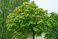 Round korona dekoracyjny klonowy drzewo z zielonymi liśćmi obrazy stock