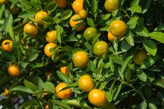 Round kumquat or marumi ku  Dreamstmquat on tree. Marumi kumquat is symbol for wealth and happiness for Vietnamese lunar new year. Round kumquat or marumi Royalty Free Stock Photos