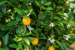 Round kumquat or marumi kumquat on tree. Marumi kumquat is symbol for wealth and happiness for Vietnamese lunar new year.  Royalty Free Stock Images