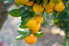 Round kumquat or marumi kuRound kummquat on tree. Marumi kumquat is symbol for wealth and happiness for Vietnamese lunar new year. Round kumquat or marumi Royalty Free Stock Photography