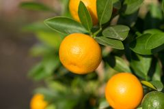 Round kumquat or marumi kuRound kummquat on tree. Marumi kumquat is symbol for wealth and happiness for Vietnamese lunar new year. Round kumquat or marumi Royalty Free Stock Photos