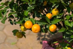 Round kumquat or marumi kuRound kummquat on tree. Marumi kumquat is symbol for wealth and happiness for Vietnamese lunar new year. Round kumquat or marumi Stock Photos