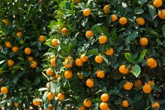 Round kumquat or marumi kuRound kummquat on tree. Marumi kumquat is symbol for wealth and happiness for Vietnamese lunar new year. Round kumquat or marumi Royalty Free Stock Photo