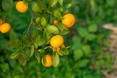 Round kumquat or marumi kuRound kummquat on tree. Marumi kumquat is symbol for wealth and happiness for Vietnamese lunar new year. Round kumquat or marumi Royalty Free Stock Image