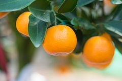 Free Round Kumquat Or Marumi KuRound Kummquat On Tree. Marumi Kumquat Is Symbol For Wealth And Happiness For Vietnamese Lunar New Year. Stock Photos - 111284063
