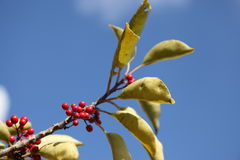 Round Leaf Holly. This is the blue sky and the fruit of Round Leaf Holly Royalty Free Stock Photo