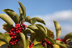 Round Leaf Holly. This is the blue sky and the fruit of Round Leaf Holly Stock Image