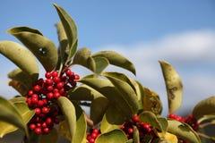 Round Leaf Holly Stock Image