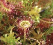 Round-leaf sundew, Drosera rotundifolia, in peatmoss royalty free stock images