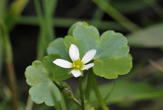 Round-leaved Crowfoot Royalty Free Stock Photos