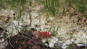 Round-leaved sundew in bloom. In a macro shot stock video footage