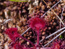 Round-leaved sundew in moss macro, shallow DOF, selective focus Royalty Free Stock Image
