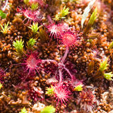 Round-leaved sundew in moss macro, shallow DOF, selective focus Royalty Free Stock Photo