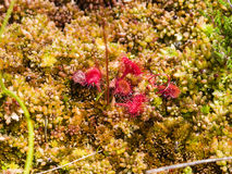 Round-leaved sundew in moss macro, shallow DOF, selective focus Stock Photos