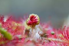 Round-leaved sundew Royalty Free Stock Image